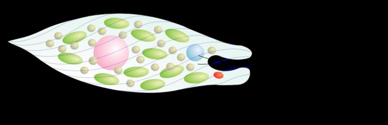 Одноклітинні організми. Перехід до багатоклітинності ...